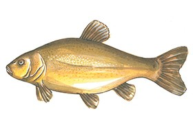 Nagy halhatározó