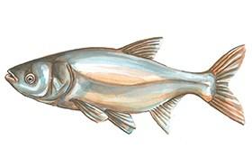 Közkedvelt halak