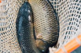 Friss halat Karácsonyra, egyenesen a termelőktől!
